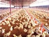 Chicken brooder should use appropriate equipment insulation equipment